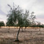 Picture of an olive oil grove in drought.
