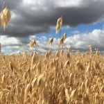 Picture of a field of wheat.