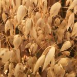 Picture of wheat sheaves.
